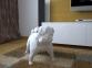 Бумажная модель 3Decor Papercraft Собака Французский бульдог (56) 2