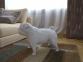 Бумажная модель 3Decor Papercraft Собака Французский бульдог (56)